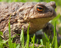Toad sits in a grass Stock Photography