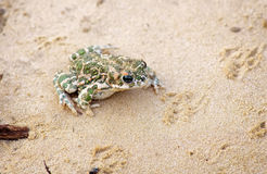 Toad Sits on a sand Stock Images