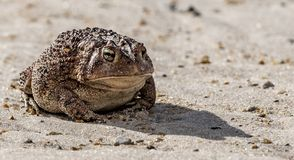 A toad is sunning himself royalty free stock photography