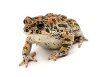 Toad sitting Stock Photo