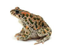 Toad sitting Royalty Free Stock Photography