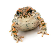 Toad Sitting Stock Images