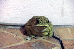 Toad sitting on the floor. it is a tailless amphibian with a short stout body and short legs. Stock Image