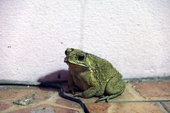 Toad sitting on the floor. it is a tailless amphibian with a short stout body and short legs. Stock Photography