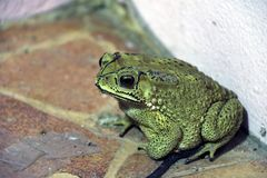 Toad sitting on the floor. it is a tailless amphibian with a short stout body and short legs. Stock Photo