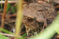 Toad sitting in the grass. Stock Photos