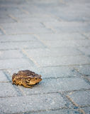 Toad Sitting On Gray Tiled Background Royalty Free Stock Photos