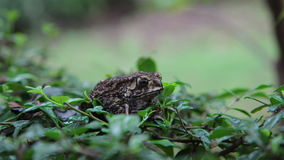 Toad sitting in green grass stock footage