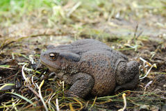 Toad sitting on the ground Royalty Free Stock Photo