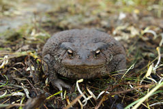 Toad sitting on the ground Royalty Free Stock Photos