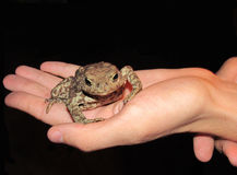 Toad sitting on the palm on a black background. Royalty Free Stock Photos