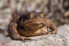 Toad sitting on a stone Stock Image