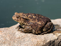 Toad sitting on a stone Stock Photos