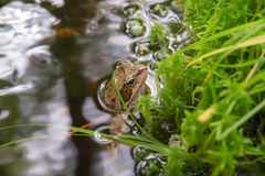 Toad sitting in a stream Stock Photos
