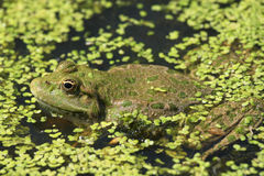 Toad. A toad sitting in a swamp Royalty Free Stock Images