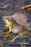 Toad Sitting in a Swamp Royalty Free Stock Photo