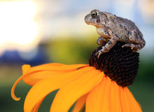 Toad sitting on Yellow Flower. A grey toad sitting atop a brown and yellow flower. Room for copy on upper left portion of image stock photography