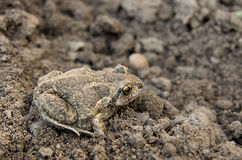 Toad on soil Stock Photography
