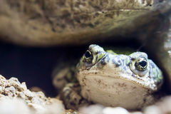 Toad. A Sonoran desert toad close up Stock Image