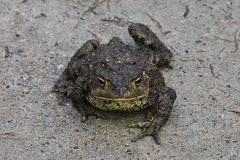 Toad with a stern countenance. The toad moves clumsy on land. It looks firm and intimidating Stock Images