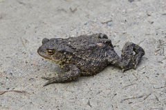 Toad with a stern countenance. The toad moves clumsy on land. It looks firm and intimidating Stock Image
