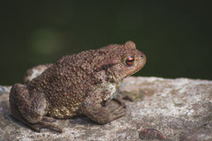 Toad on a stone. The toad sits on a stone in the summer Stock Photo