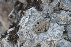 Toad on a stone. Royalty Free Stock Photos