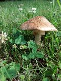 Toad stool. Brown Mushroom in the yard Stock Images