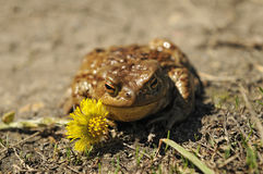 Toad in the sun warms up Royalty Free Stock Photo