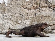 Toad taking a stroll. Bufo bufo. Royalty Free Stock Photos