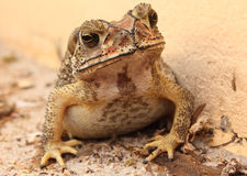 Toad thai Stock Photography