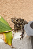 Toad. Royalty Free Stock Photography