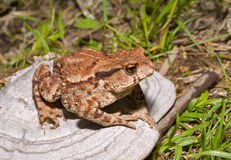 Toad on tinder 3. A close up of the toad (Bufo gargarizans) on mushroom (tinder Royalty Free Stock Images
