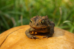 Toad on toadstool closeup Royalty Free Stock Images