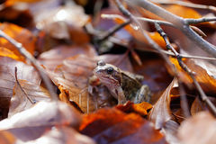 Toad traveling in the leaves Royalty Free Stock Photography
