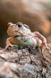Toad on a trunk. Toad camouflaging on a trunk Royalty Free Stock Images