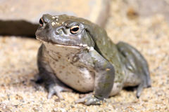 Toad. A typical Colorado River Toad Royalty Free Stock Photos