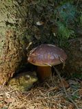 Toad under a Bolete Stock Images