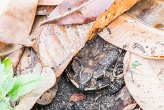 Toad under the leaves Stock Photo