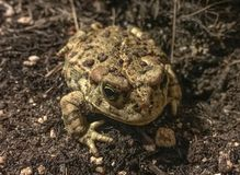 Toad under the moonlight royalty free stock images