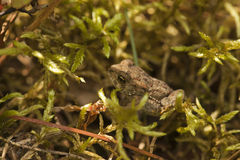 Toad in vegetation Stock Photography