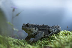 Toad walking on moss, Vosges mountains, France Stock Photos