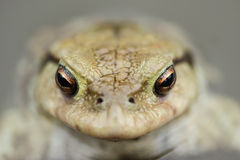 Toad in water Stock Photos