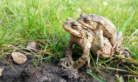 Toad in water Stock Photography