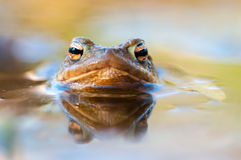 Toad in water Royalty Free Stock Photography