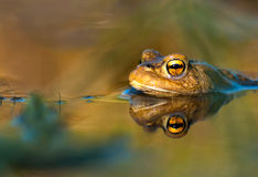 Toad in water Stock Image