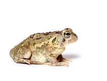 Toad on white Royalty Free Stock Image