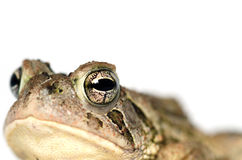 Toad on white Royalty Free Stock Images