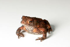 Toad on white background Royalty Free Stock Photography