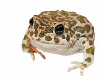 Toad on white background Stock Photos